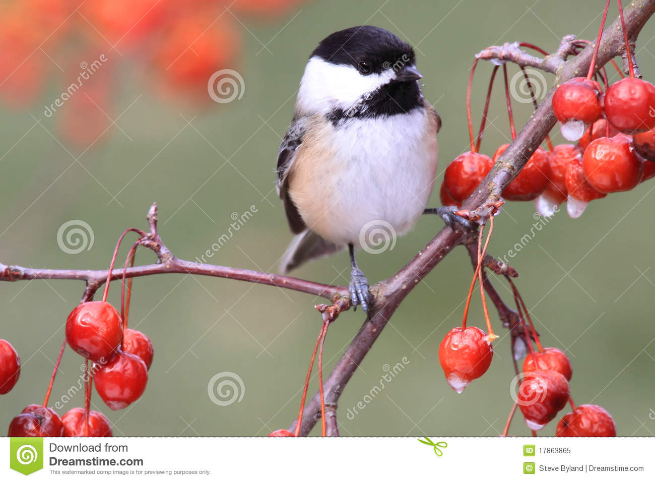 Chickadee sur un branchement