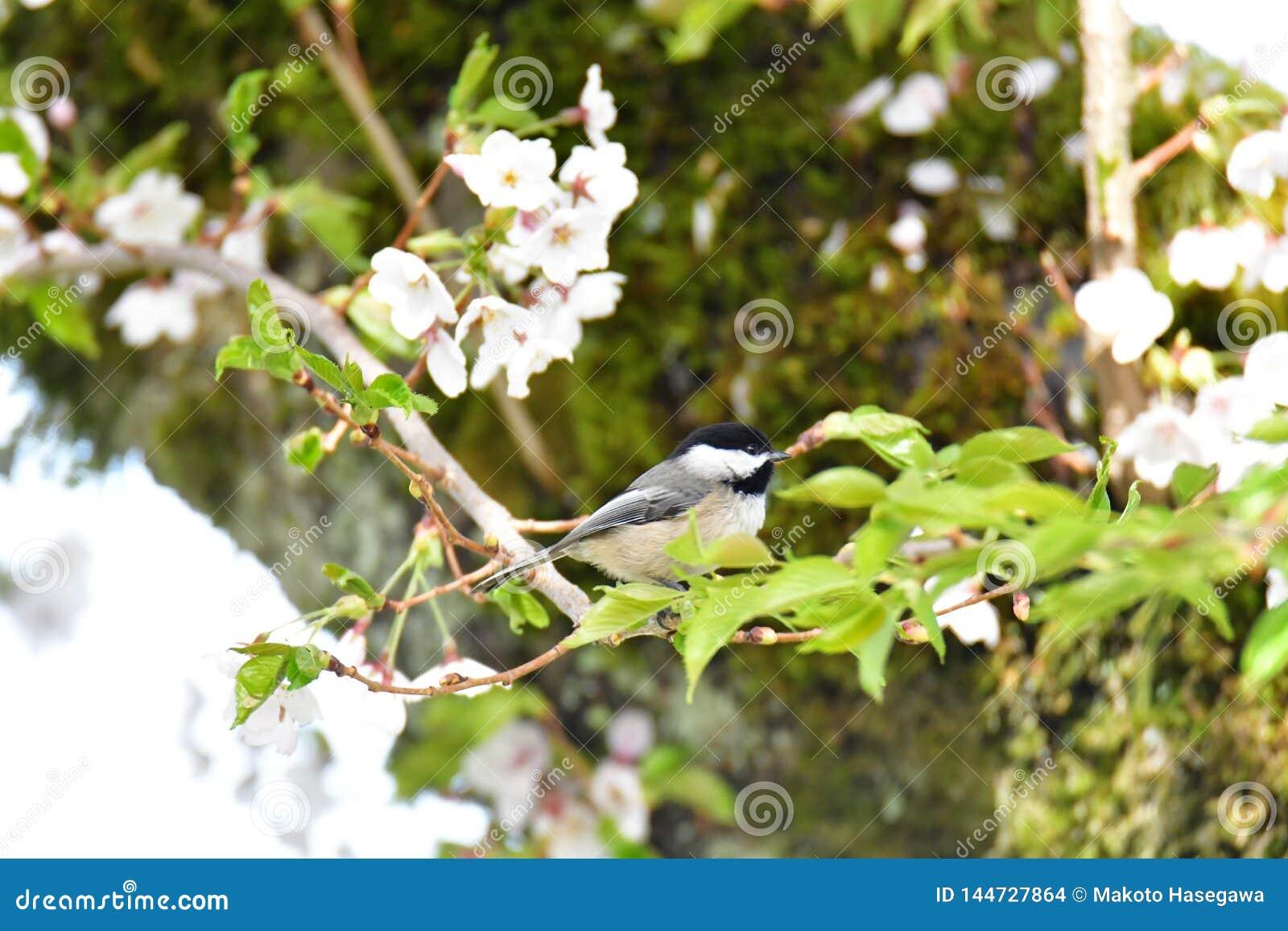 Chickadee tampado preto na flor de cerejeira