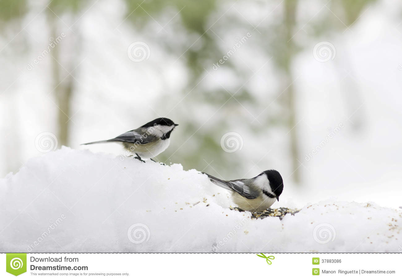 Chickadees in Sneeuw