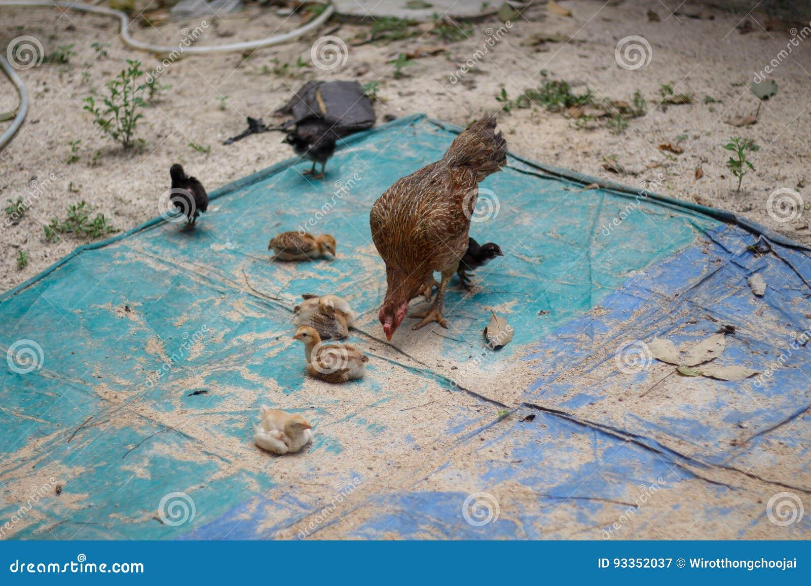 Chicken family on farm
