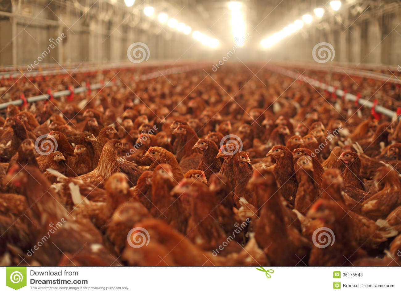 How Do I Start Chicken Production In South Africa?