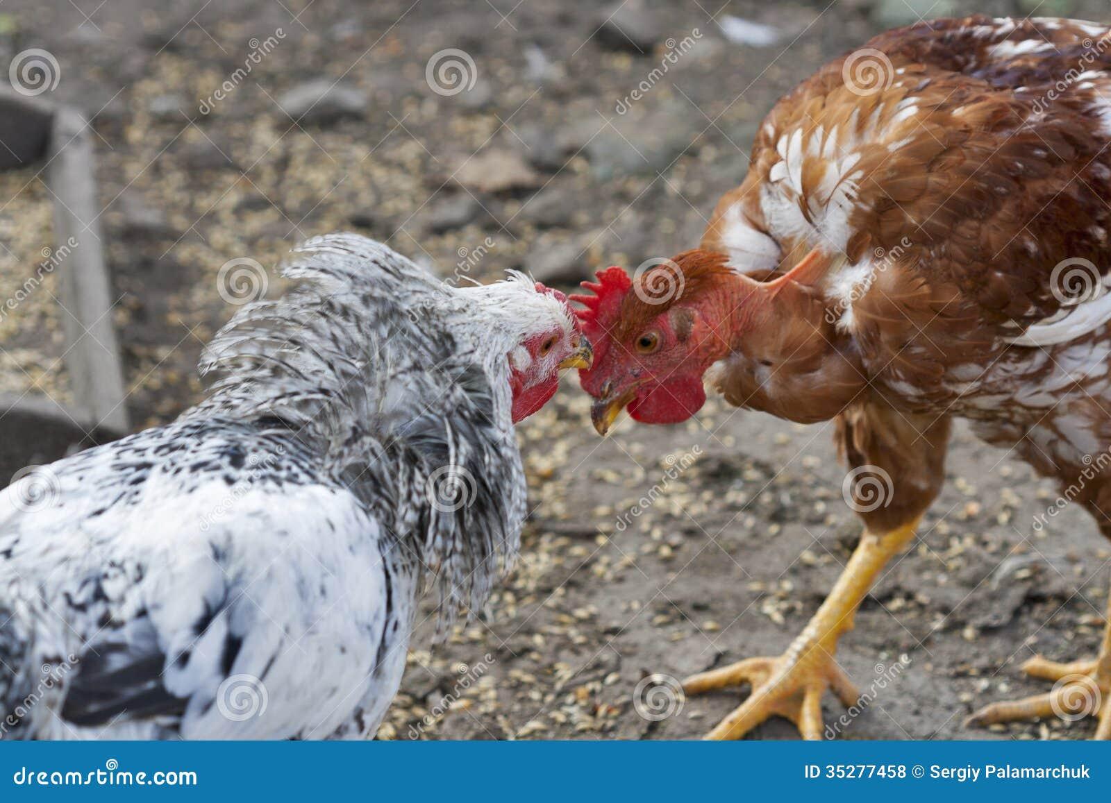 Как сделать чтобы курицы не дрались