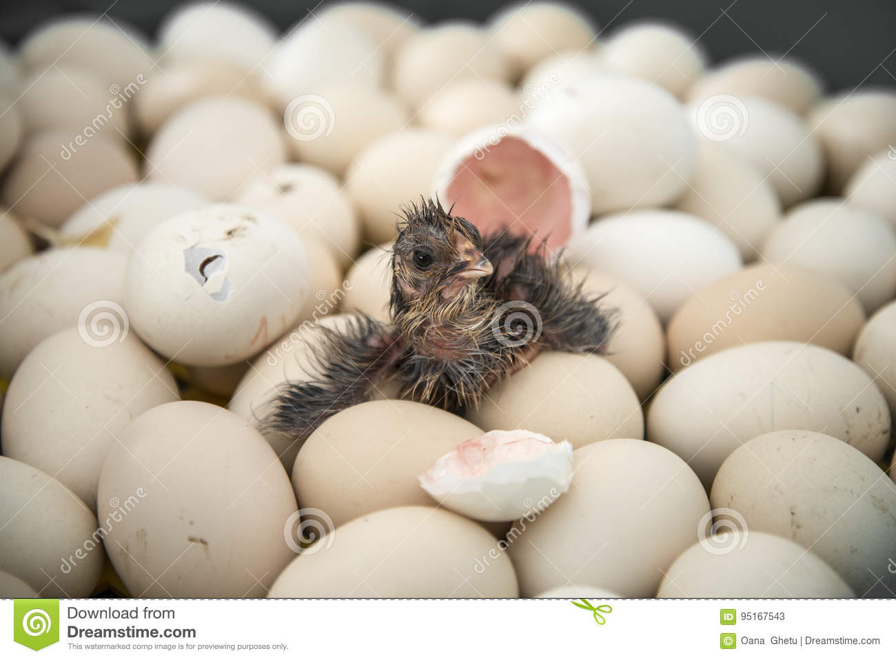 Chicken Hatching From Egg