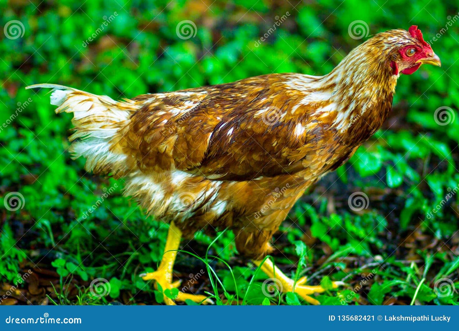 Chicken hen face closeup body nature