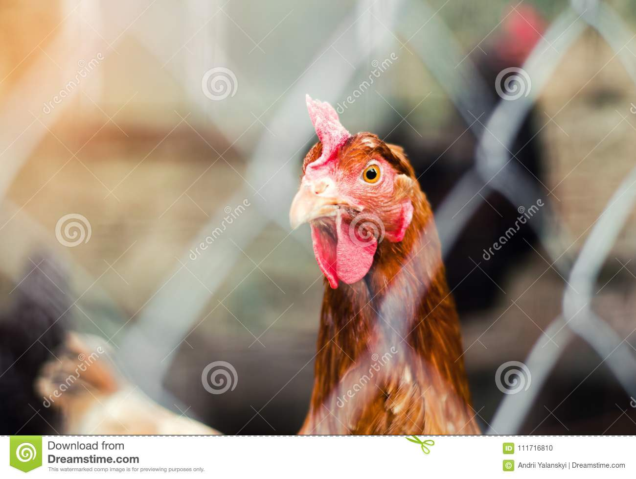 Chicken in a hen-house close-up, poultry, farming, chicken eggs