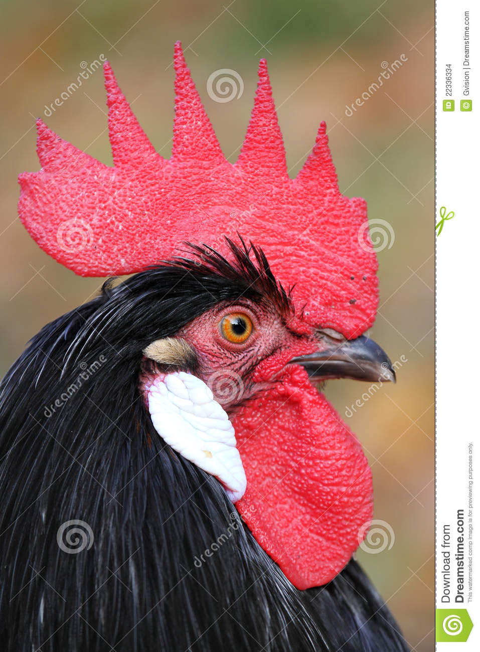 Download Chicken portrait stock photo. Image of rooster, farm - 22336334