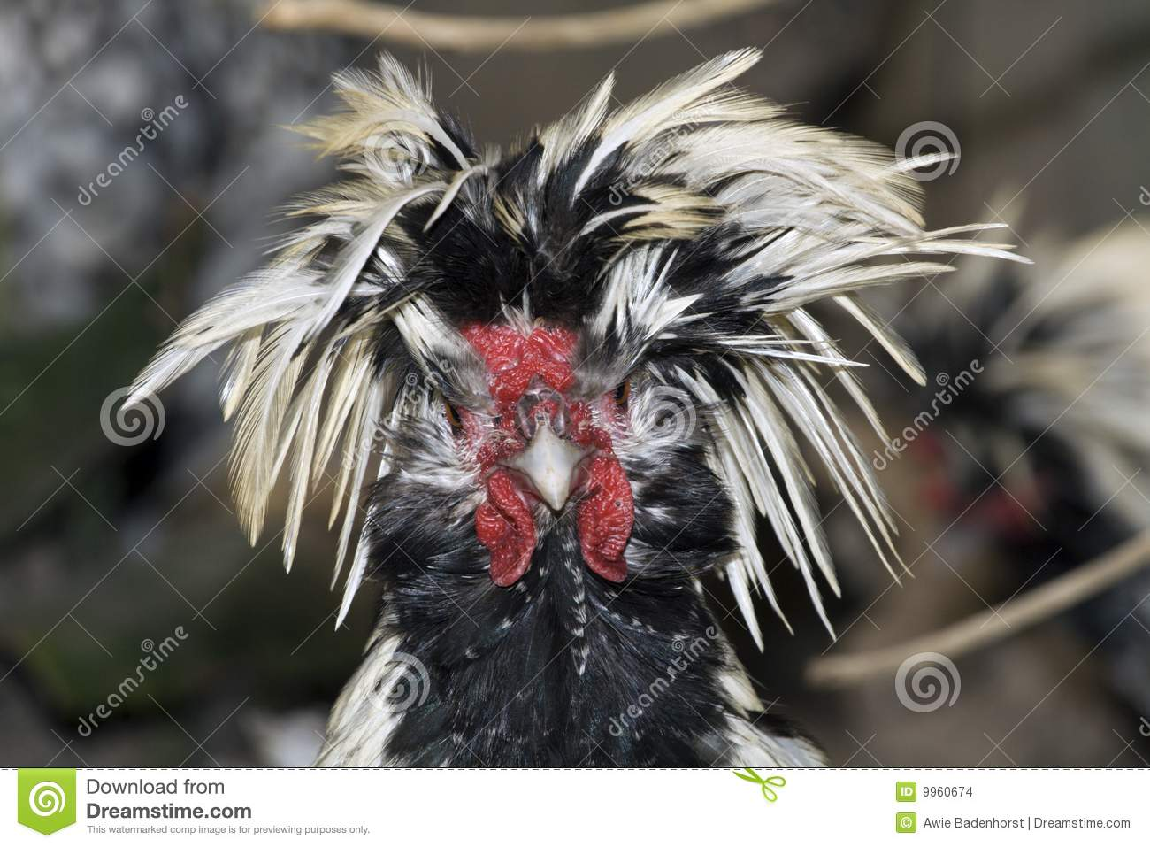 Chicken With Ruffled Feathers Stock Images - Image: 9960674 Ruffled Feathers