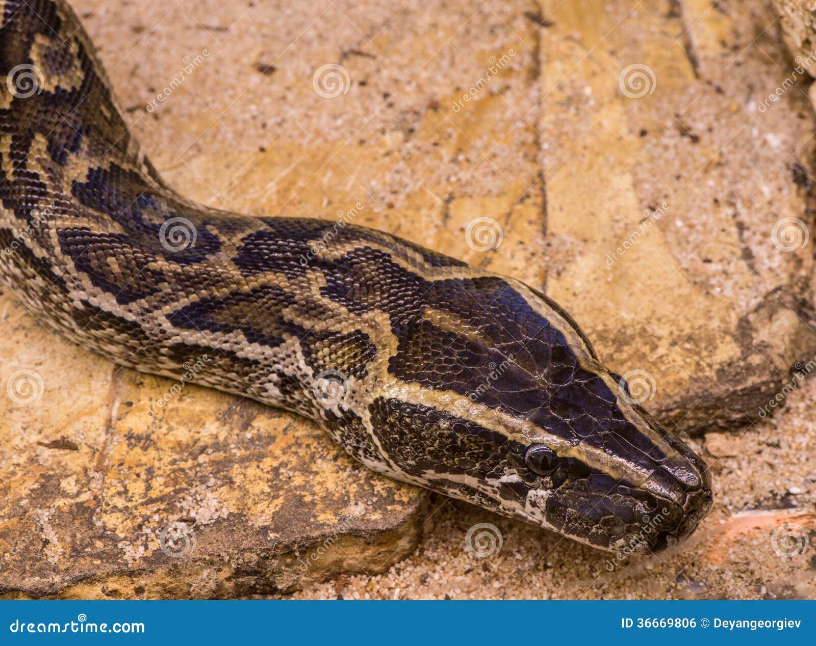 Chicken snake stock photo. Image of animals, snake, fauna ...