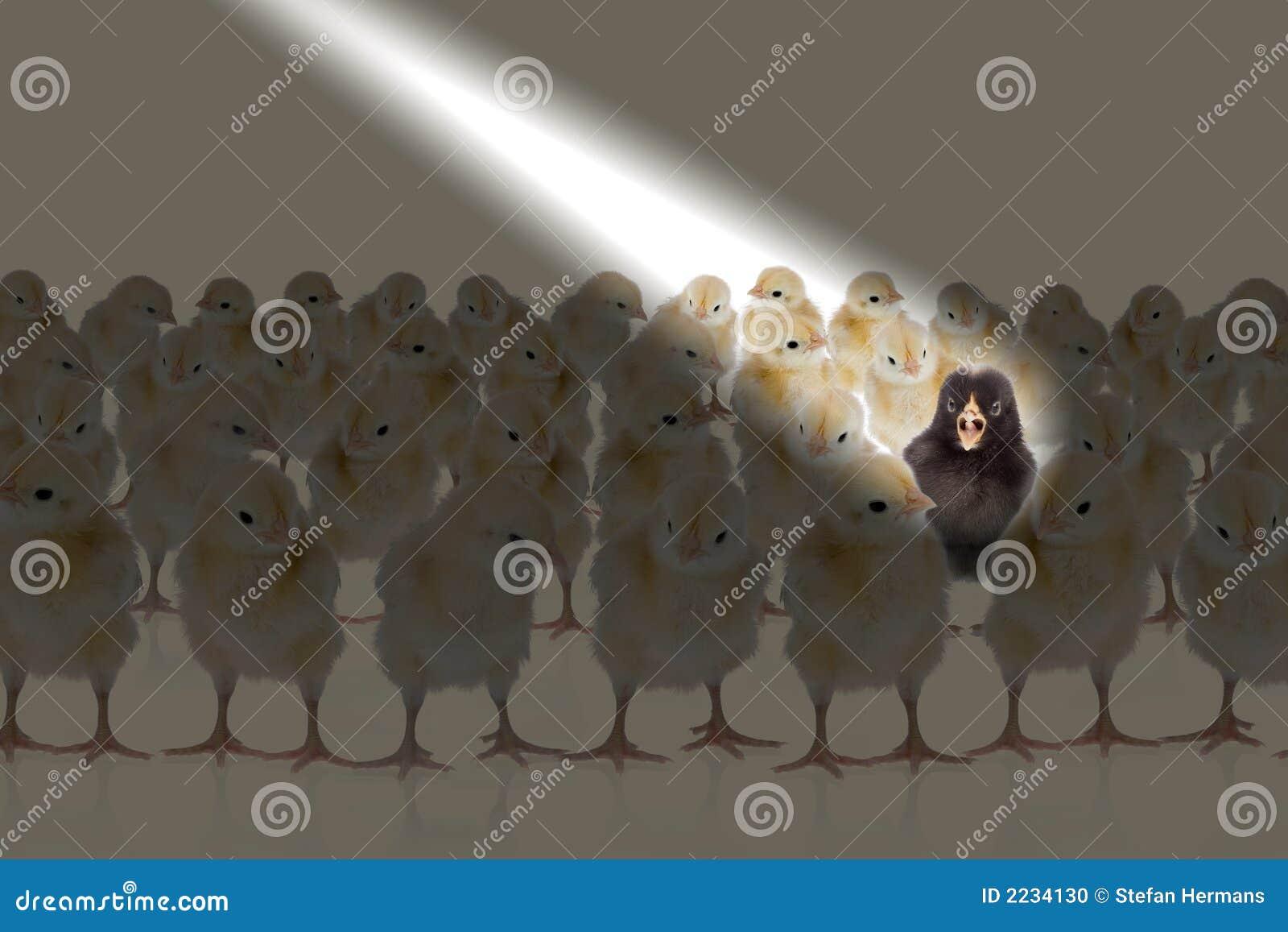 Chicken in the spotlight