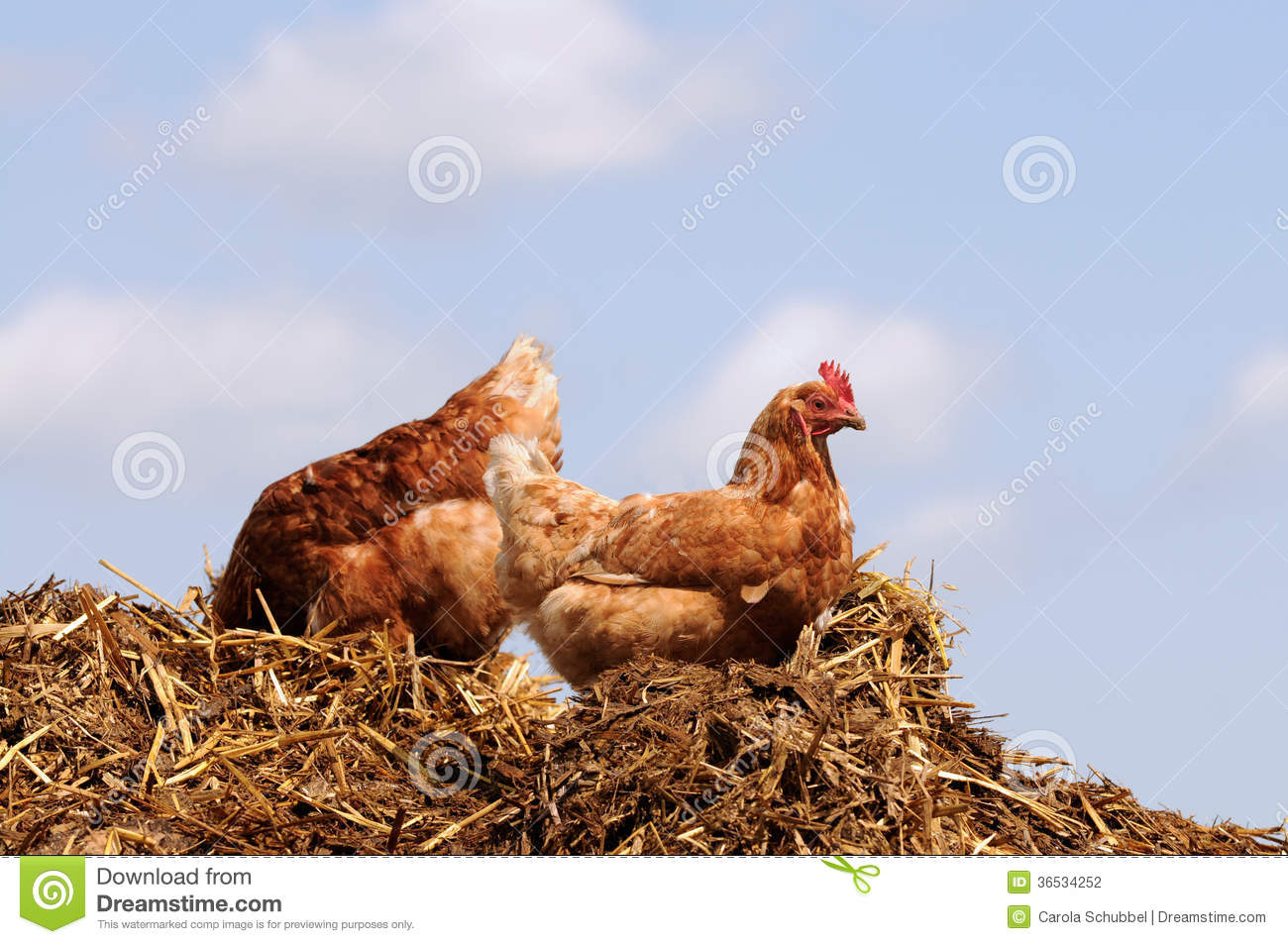 FEASIBILITY STUDY OF BROILER CHICKEN (POULTRY BIRDS) ON CHIBOY FARMS ABAKALIKI | A BUSINESS PLAN