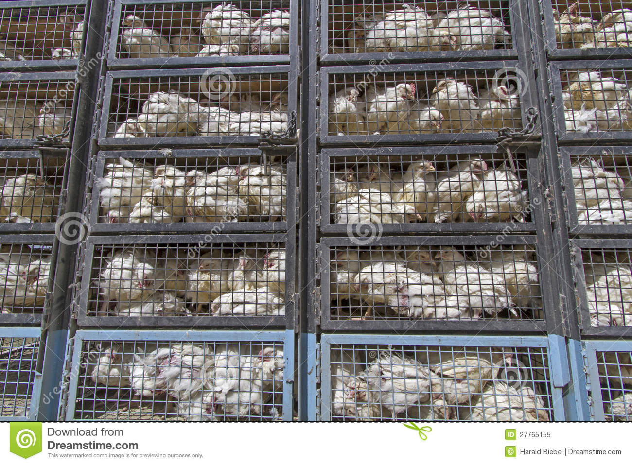 Shipping Container Trailer >> Chicken Transport In Ladakh, India Royalty Free Stock ...