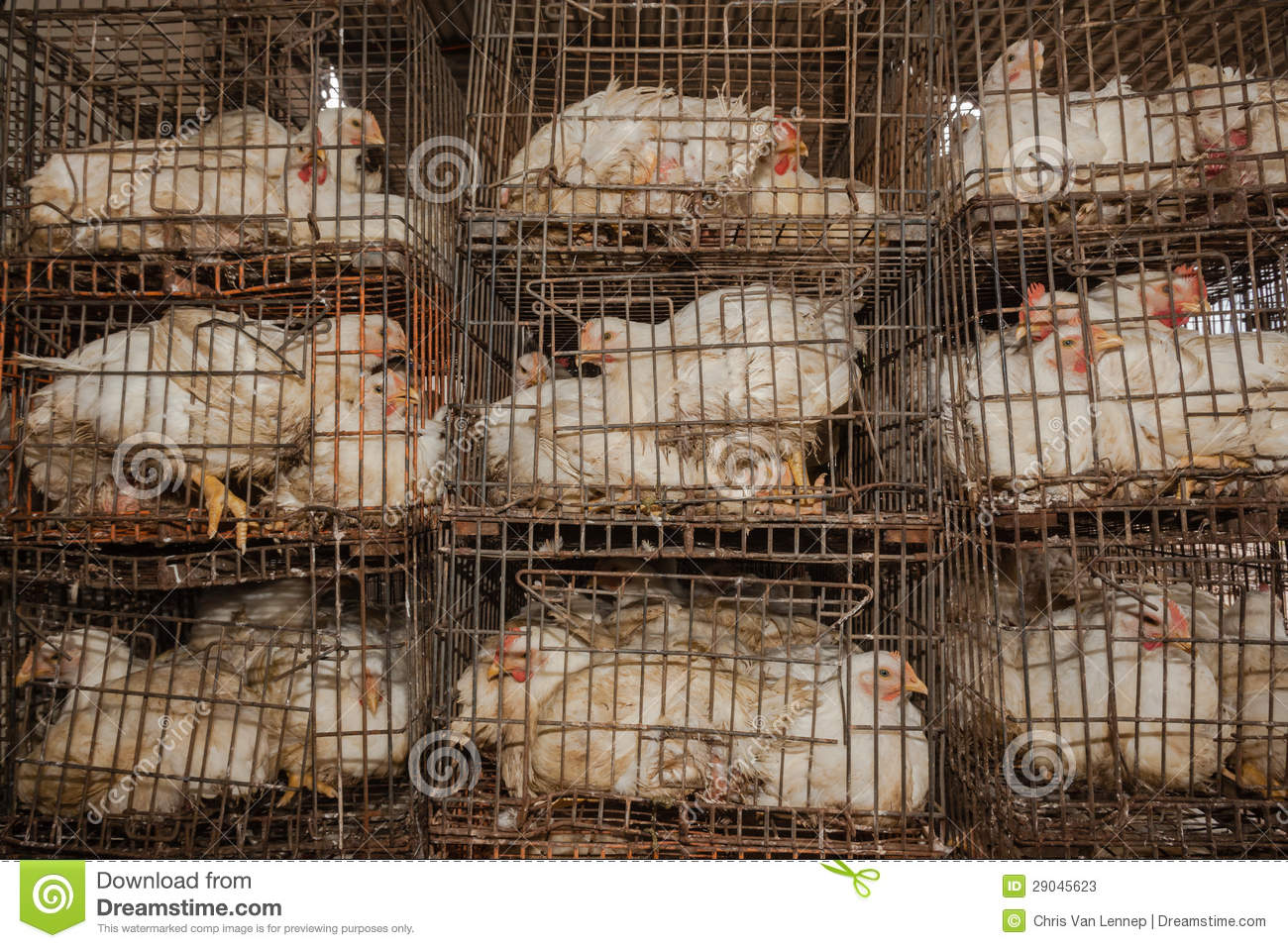 chickens cages abattoir stock photos image 29045623 chicken clip art pictures chicken clipart art