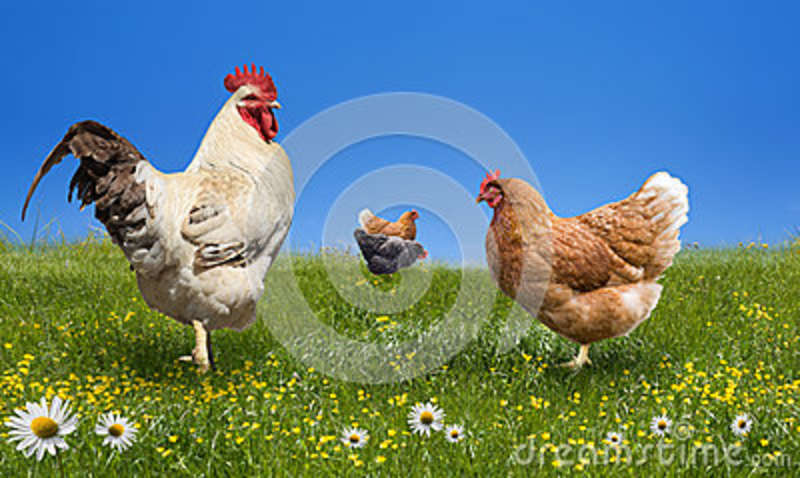 Chickens and on the green meadow