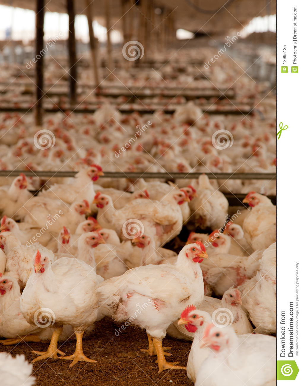 Chickens in Cot