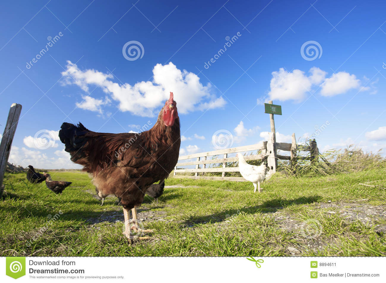 Chickens on a farm with a blue sky