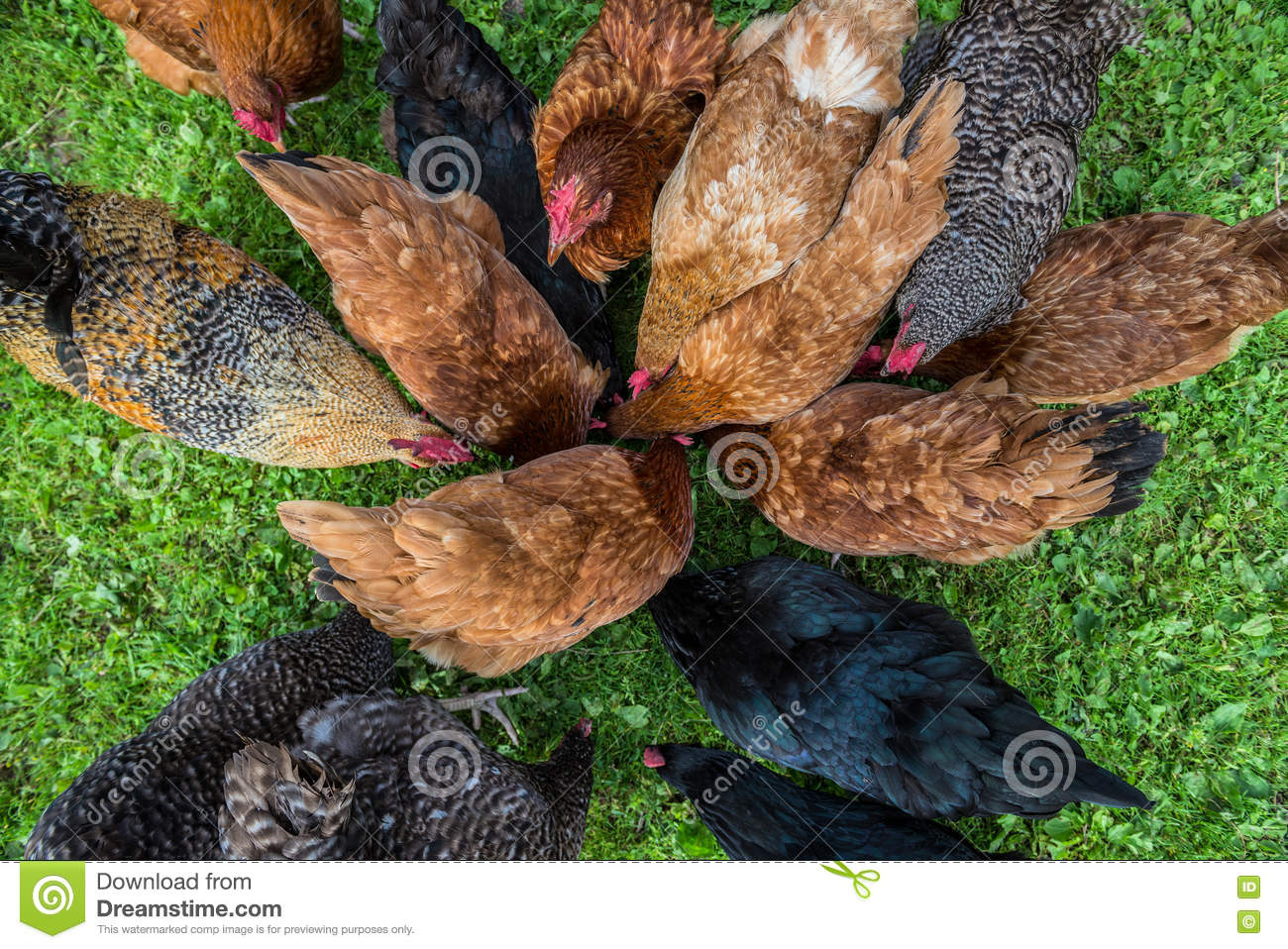 Chickens in Poland