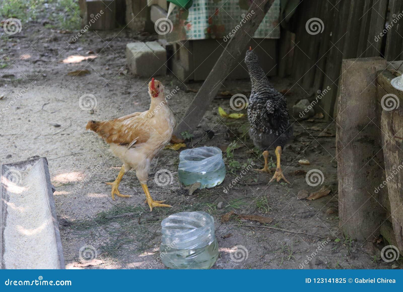 Chickens raised in an organic farm