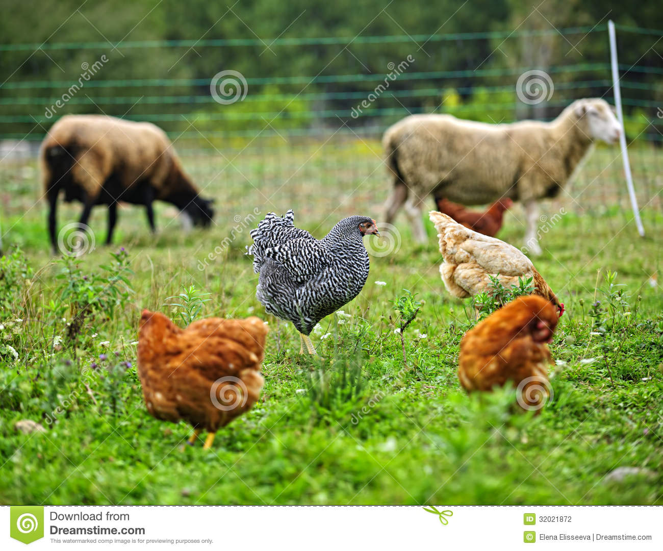 Chickens and sheep grazing on organic farm
