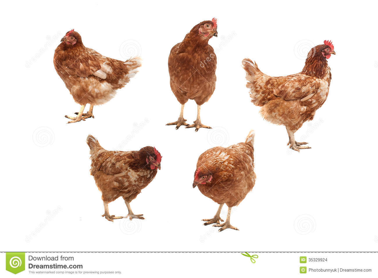 Chickens On A White Background. Stock Images - Image: 35329924