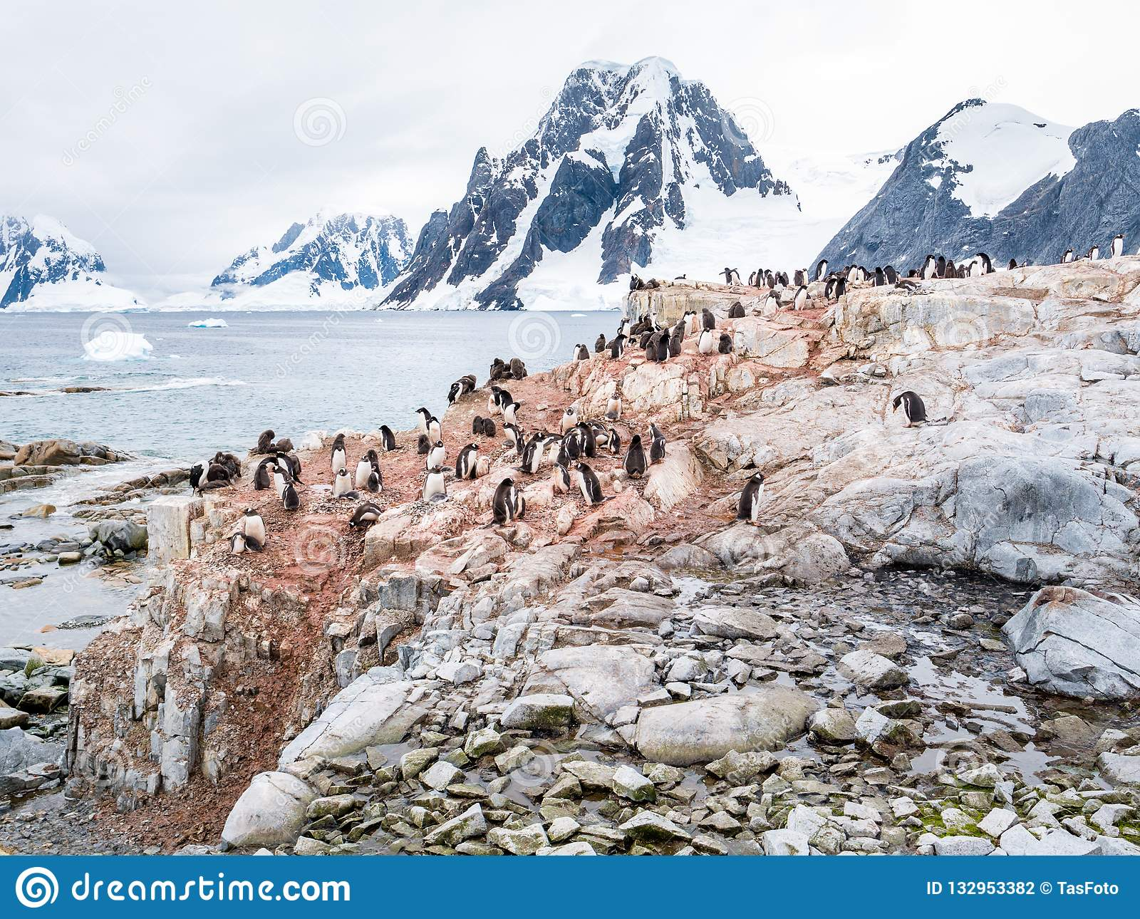 Chicks and adult Adelie penguins on Petermann Island and mount S