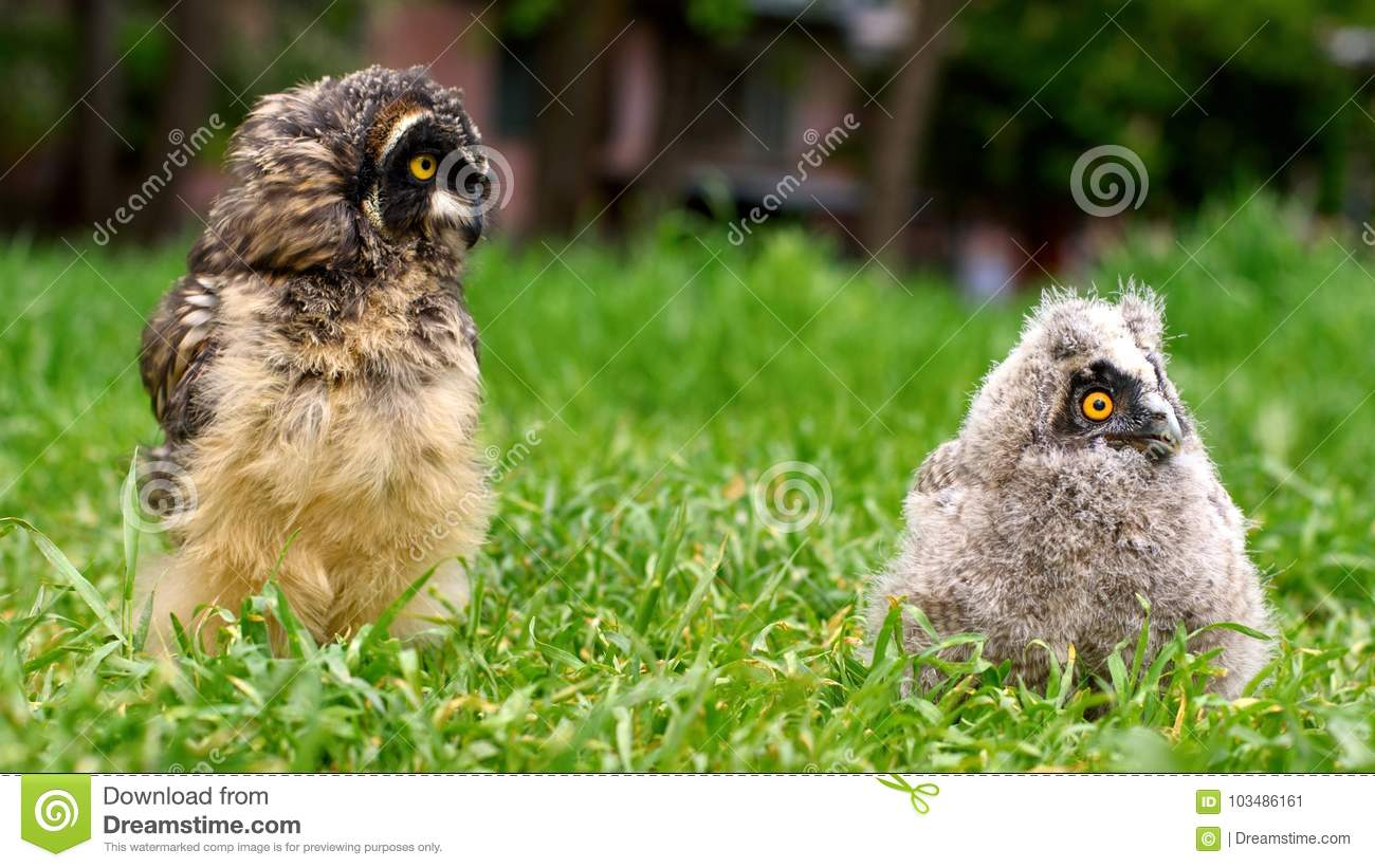 The Chicks of long-eared owl and short-eared owl sitting in the grass