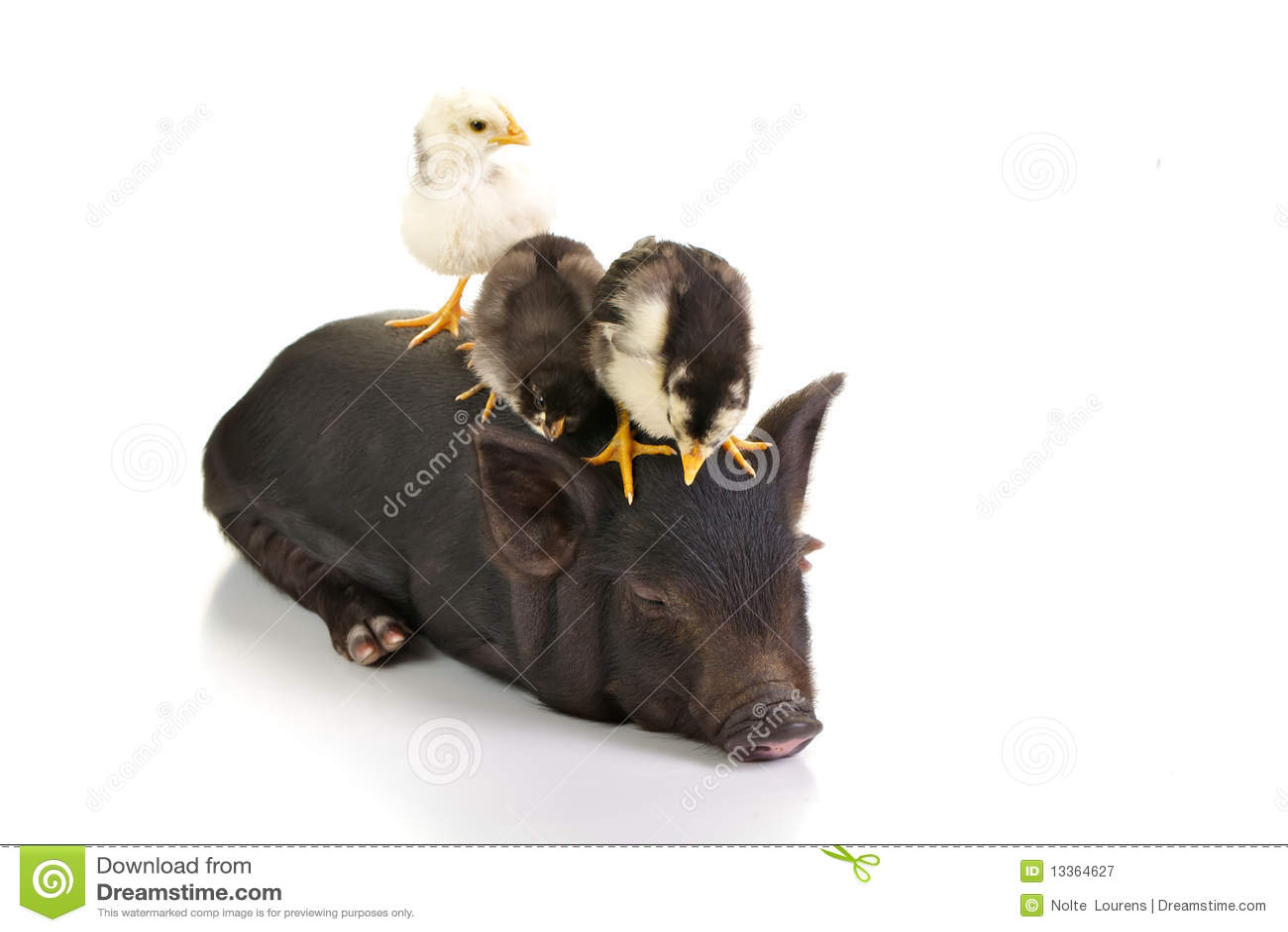 Chicks on pig