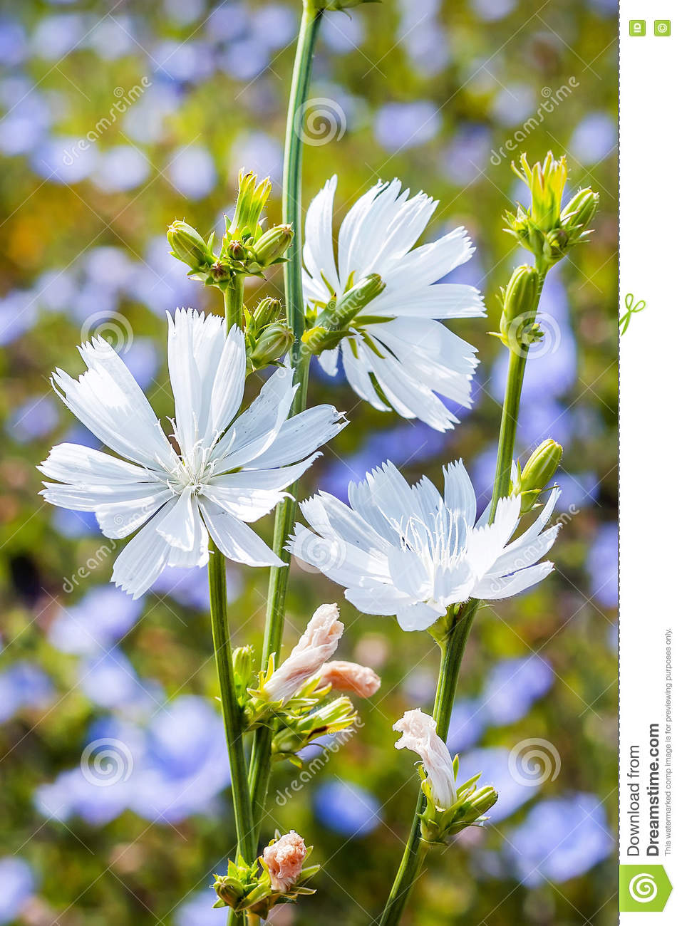 Chicory Common Cichorium The Plant With Unusual White Flowers