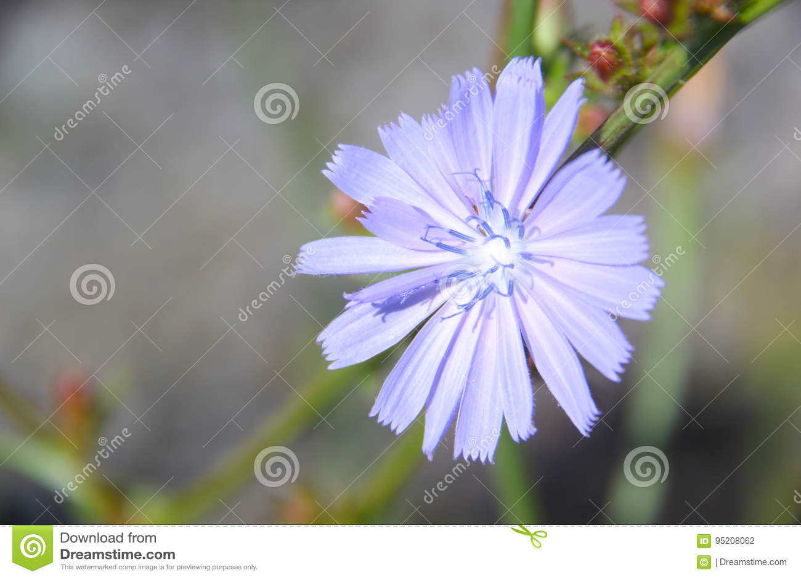 Chicory Stock Photo Image Of Mauve Dorvil Garden Chicoree 95208062