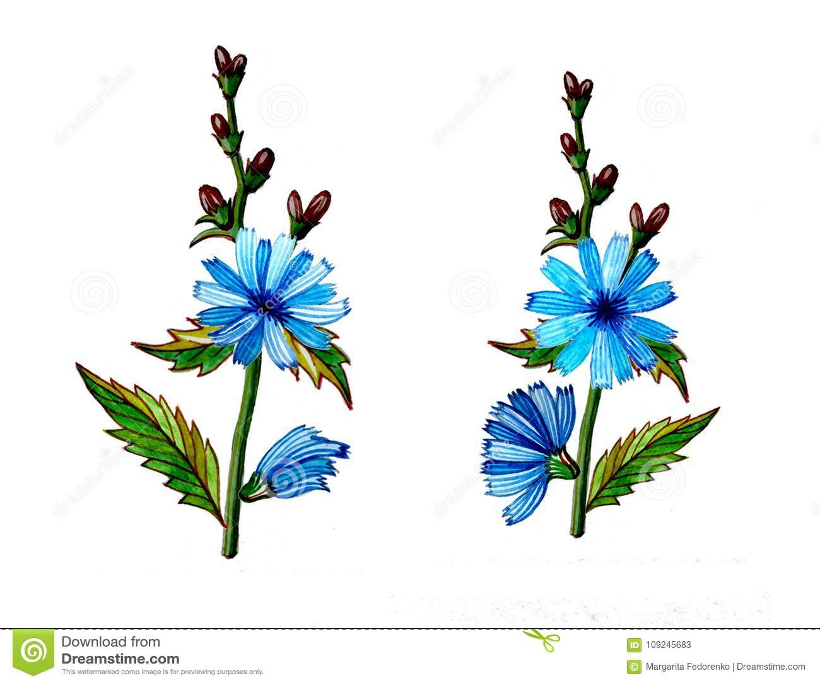 Chicory flower illustration