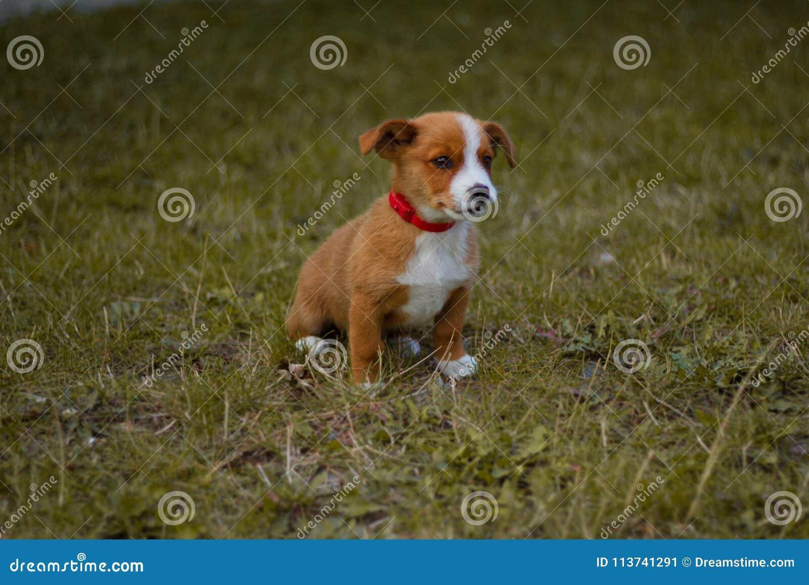 Chien, animal familier, animal, chiot, terrier, mignon, terrier de Russell de cric, briquet, canine, herbe, blanc, brun, cric, Ru