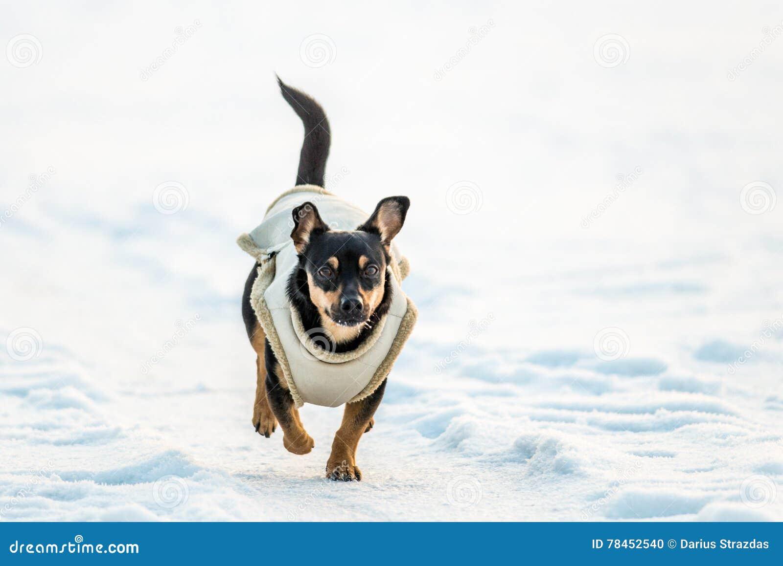 Chien avec des vêtements courus sur la neige