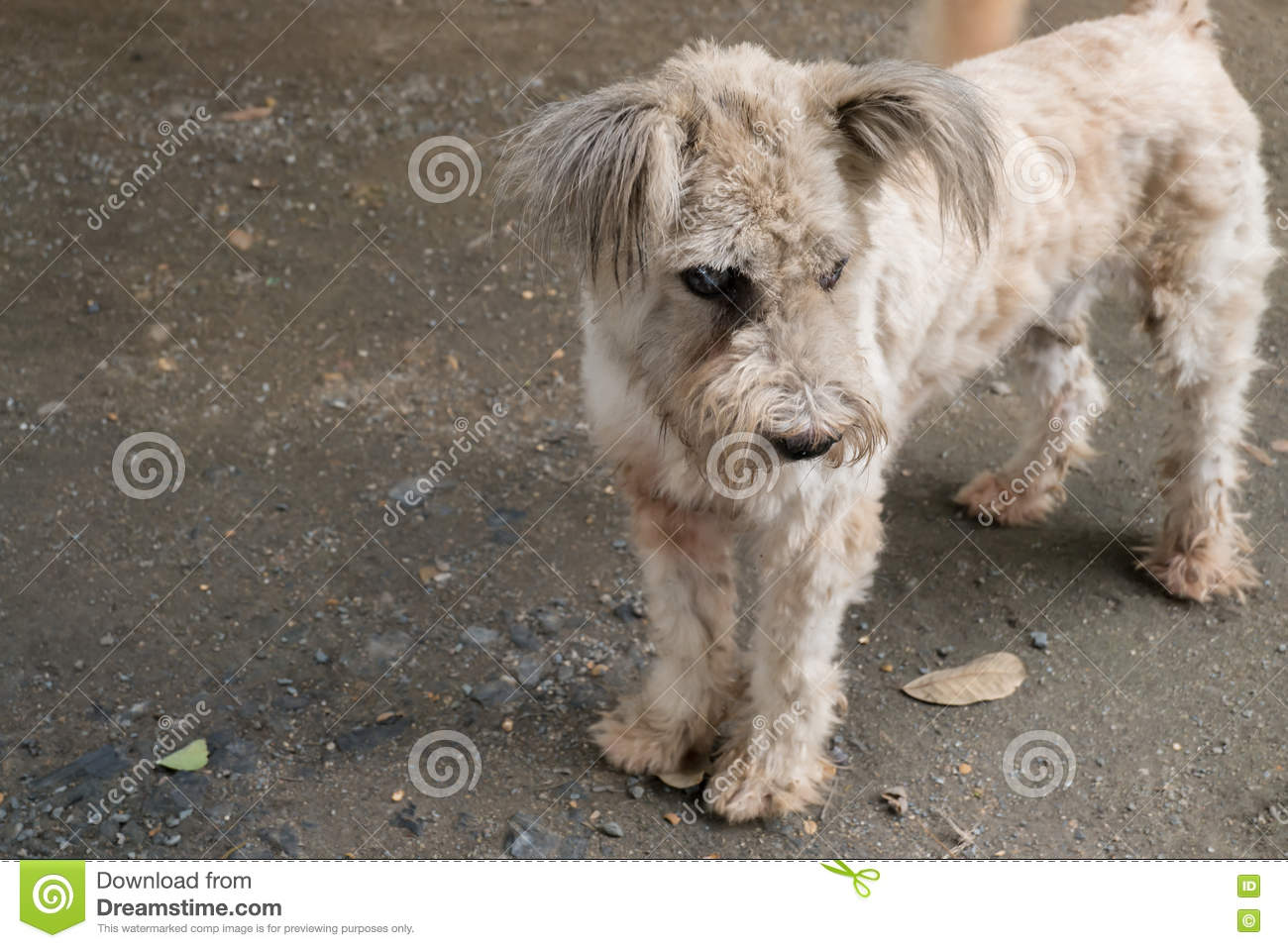 Chien Avec La Cataracte Photo Stock Image Du Dépression 75419312