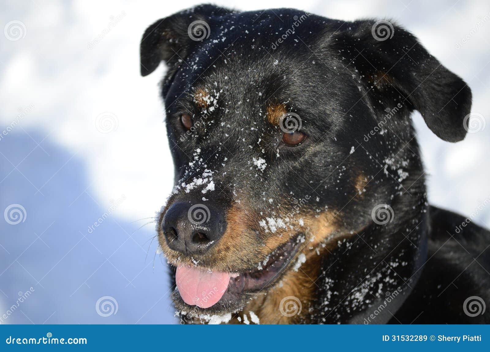Chien avec le visage neigeux le jour froid d hiver
