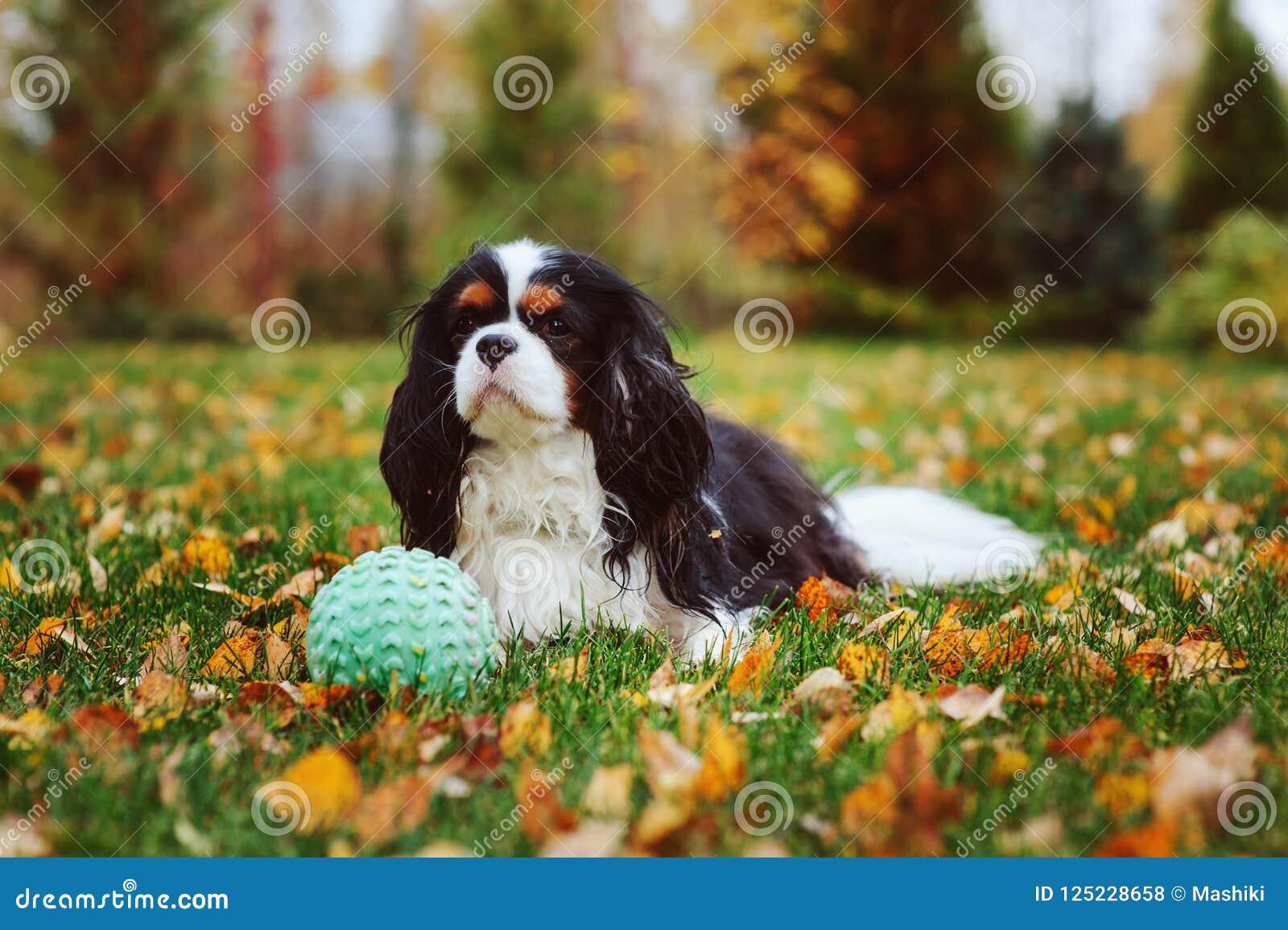 Chien cavalier heureux d épagneul de roi Charles jouant avec la boule de jouet