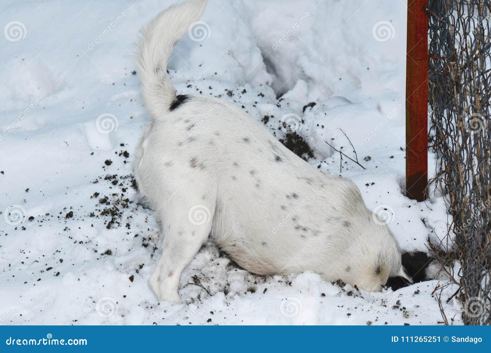 Chien creusant un trou dans la neige