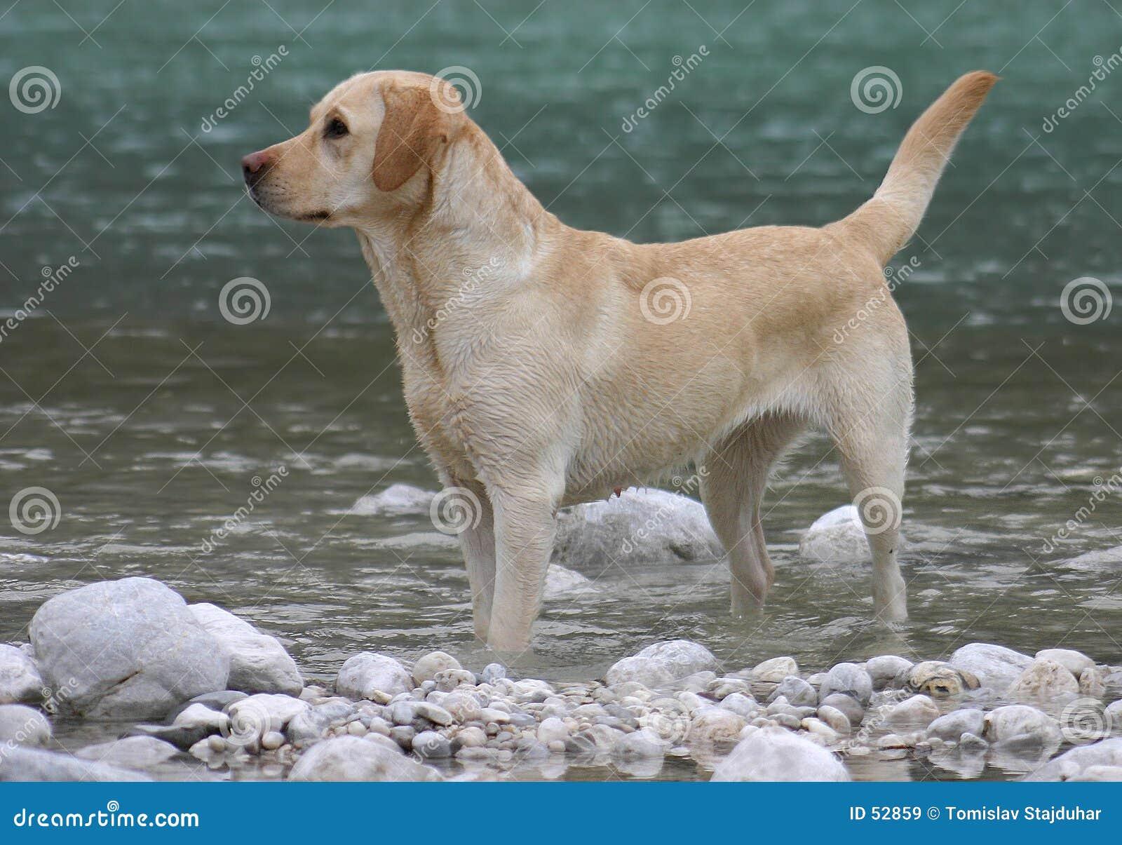 Download Chien d'arrêt de Labrador image stock. Image du recherche - 52859