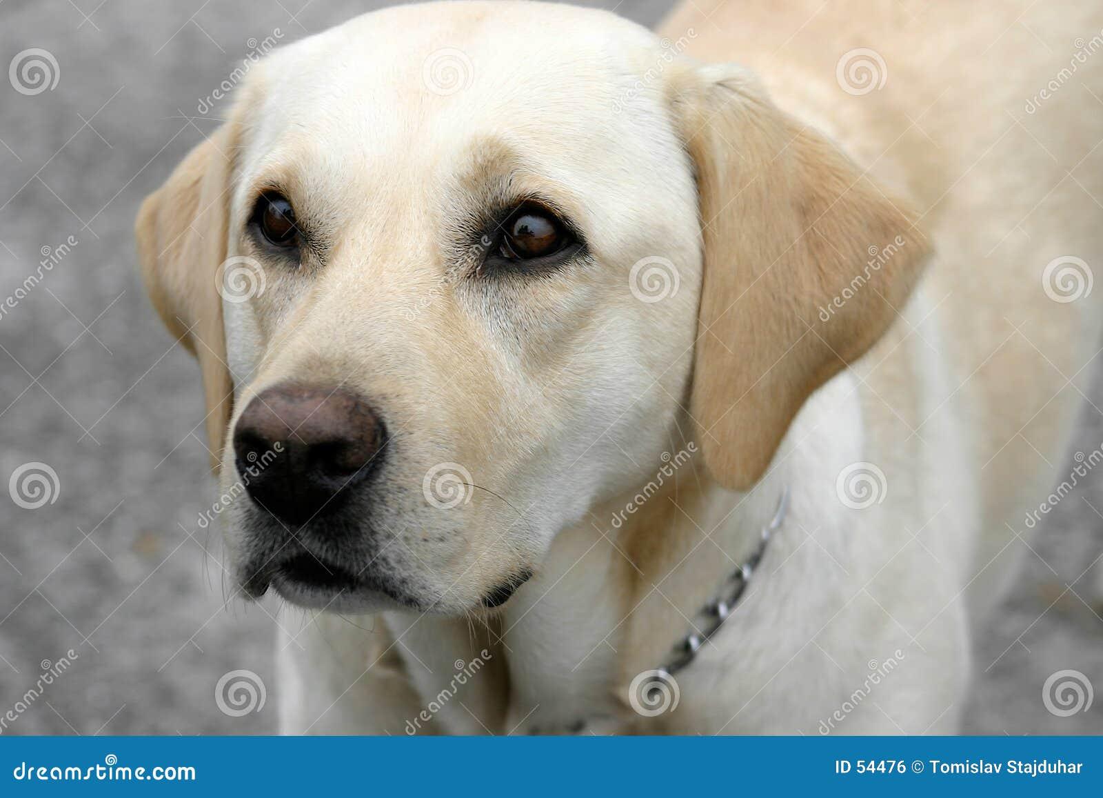 Chien d arrêt de Labrador