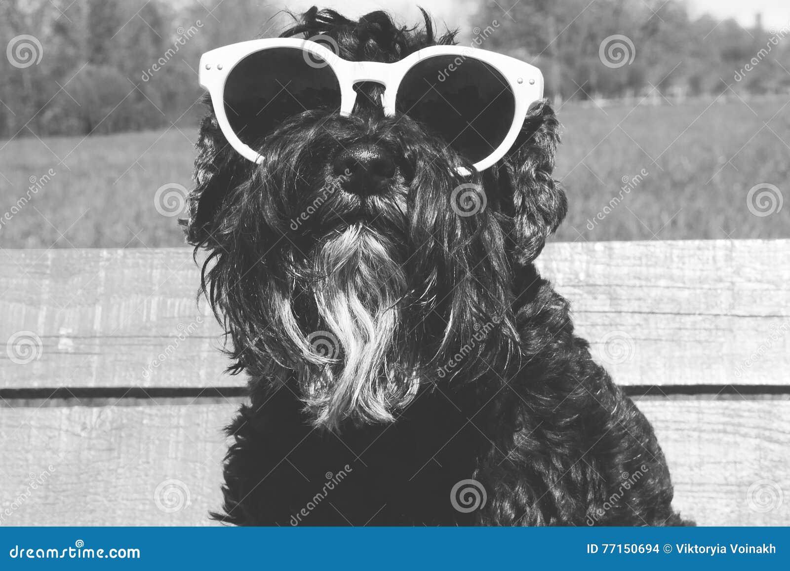 Chien dans des lunettes de soleil