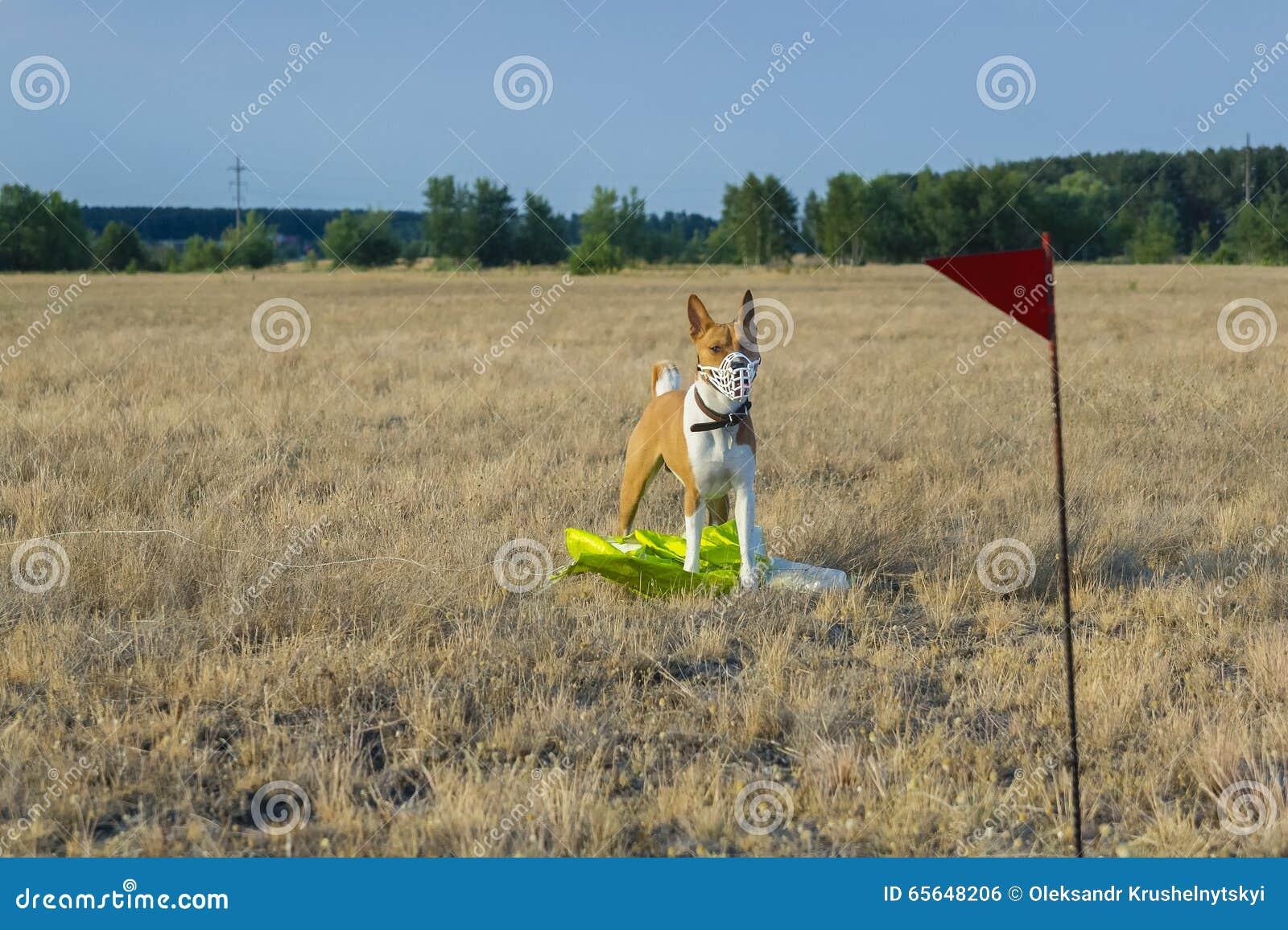 Chien de Basenji dans un domaine dans un museau pour courir