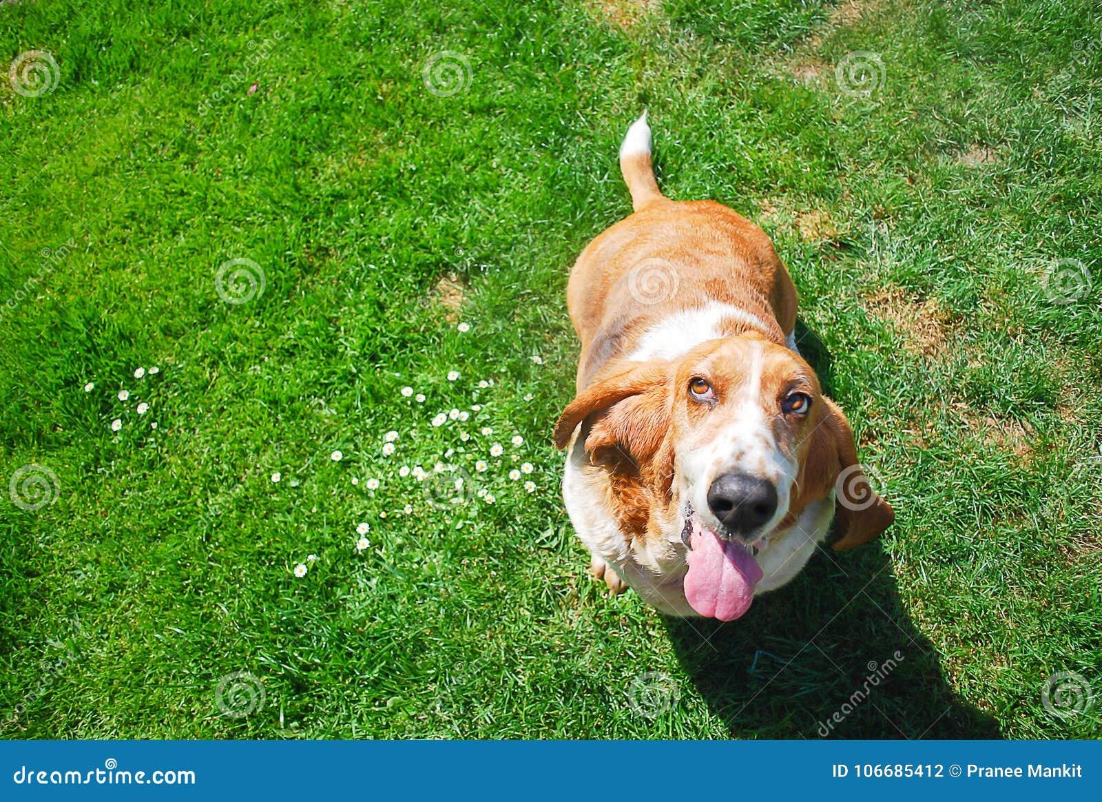 Chien de basset de Dorable dans le visage de sourire se tenant dans le fil d herbe verte