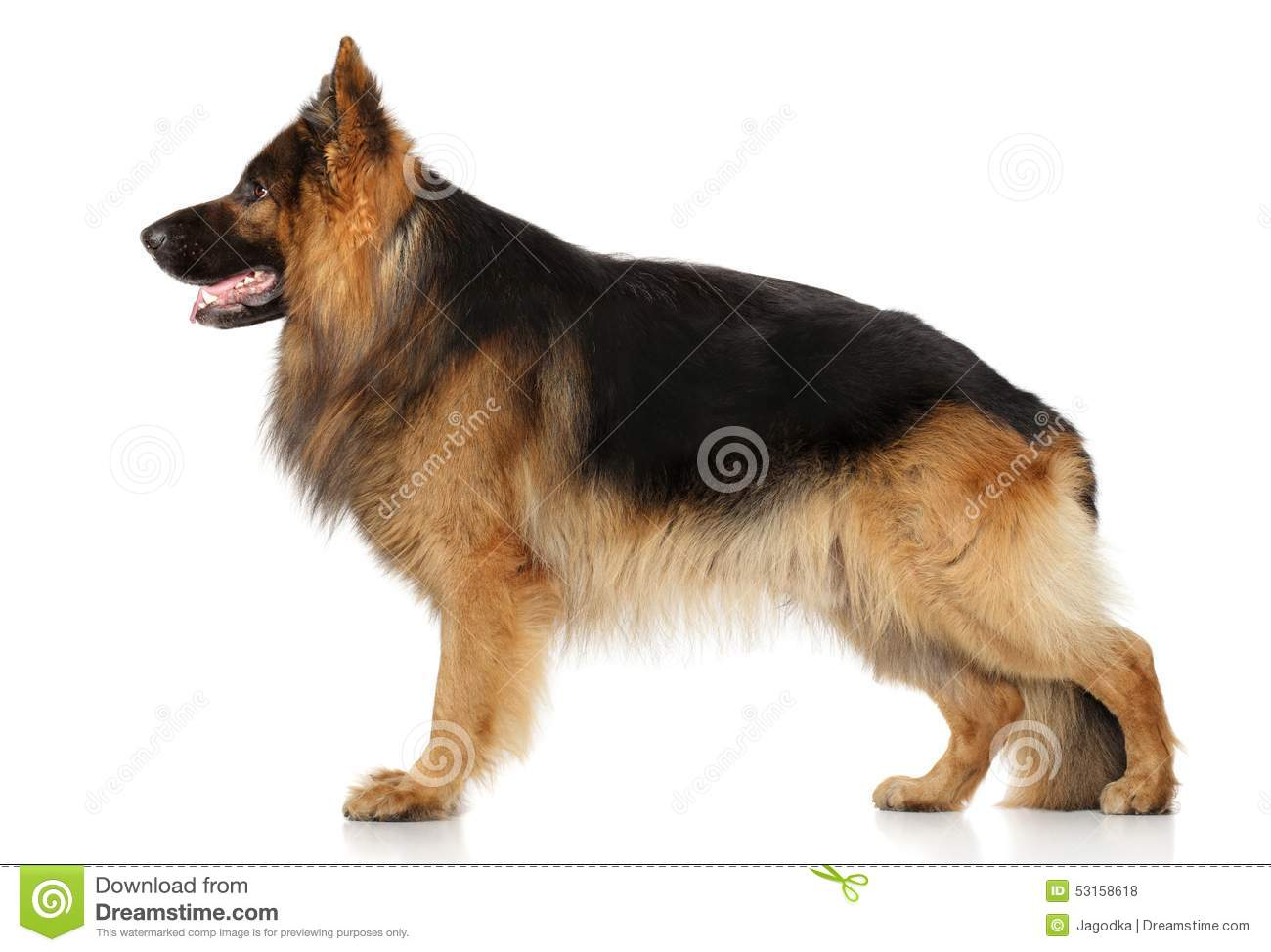 Chien De Berger Allemand Dans Le Support Photo Stock Image