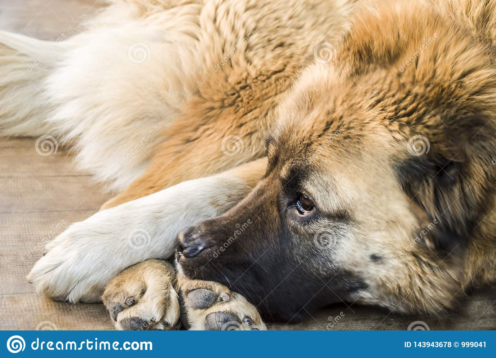 Chien de berger caucasien de chien deux ann?es