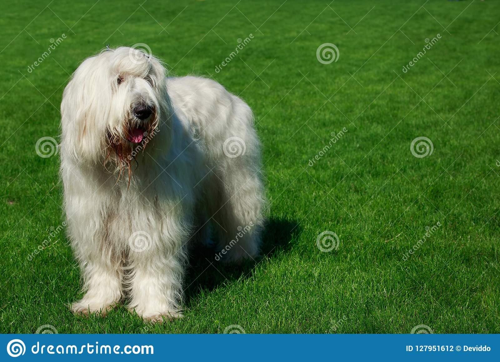 Chien de berger russe du sud de race de chien