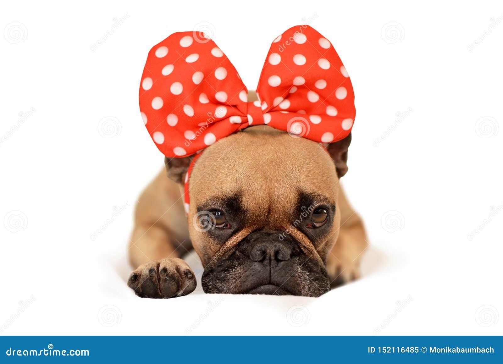 Chien de bouledogue français de Brown avec le ruban rouge énorme sur la tête se trouvant sur le plancher devant le fond blanc