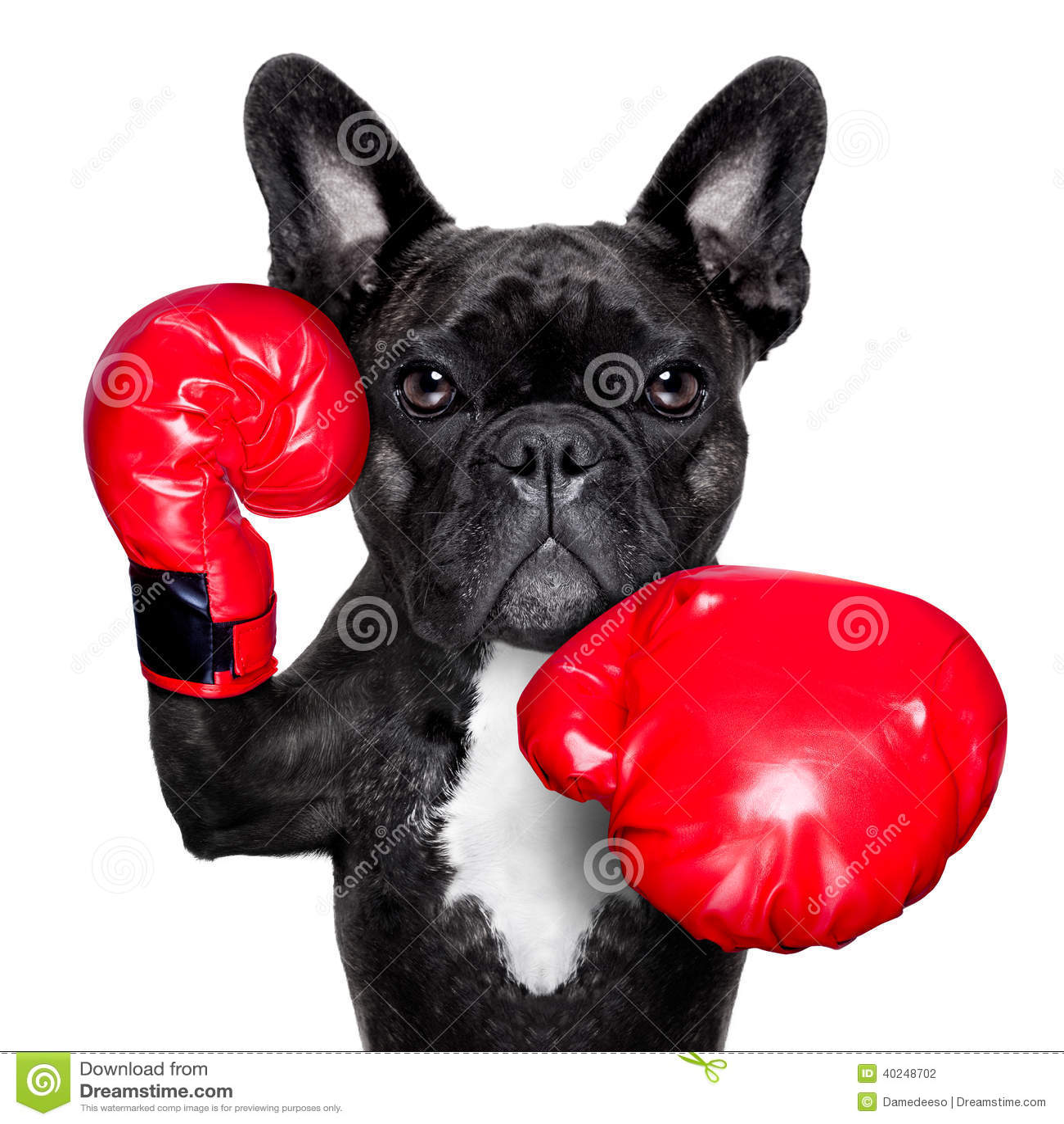 Chien de boxe