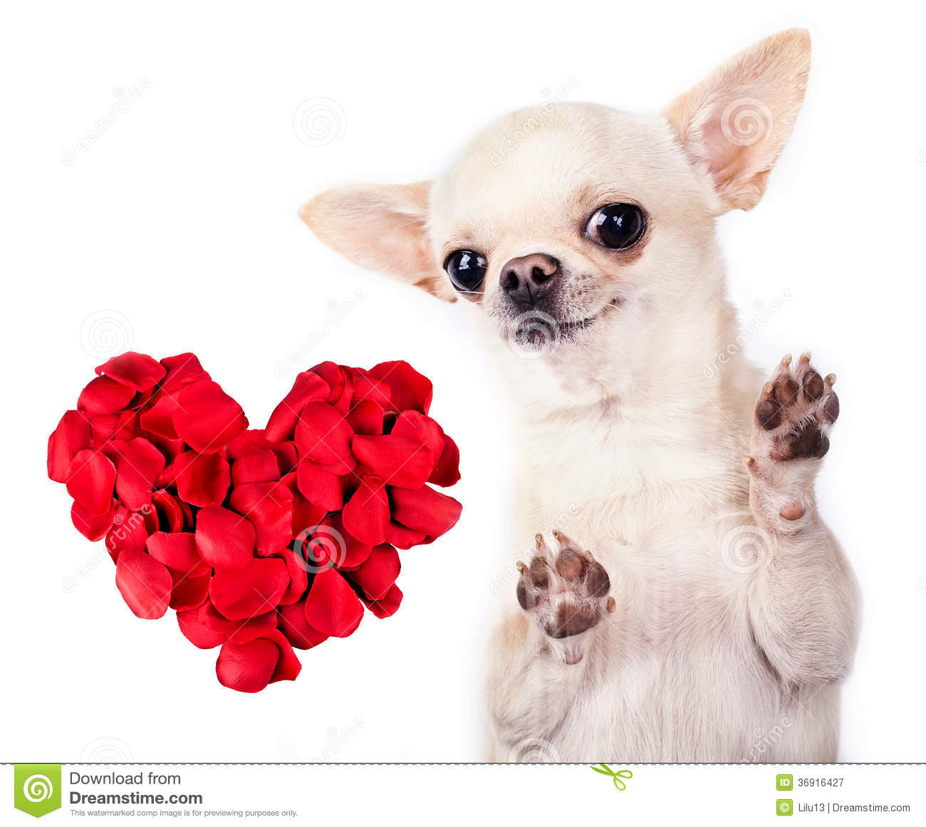 Photographie stock libre de droits chihuahua dog with red for Photographie de stock