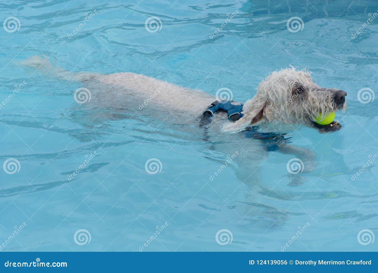 Chien de Labradoodle avec de la balle de tennis dans la natation de bouche