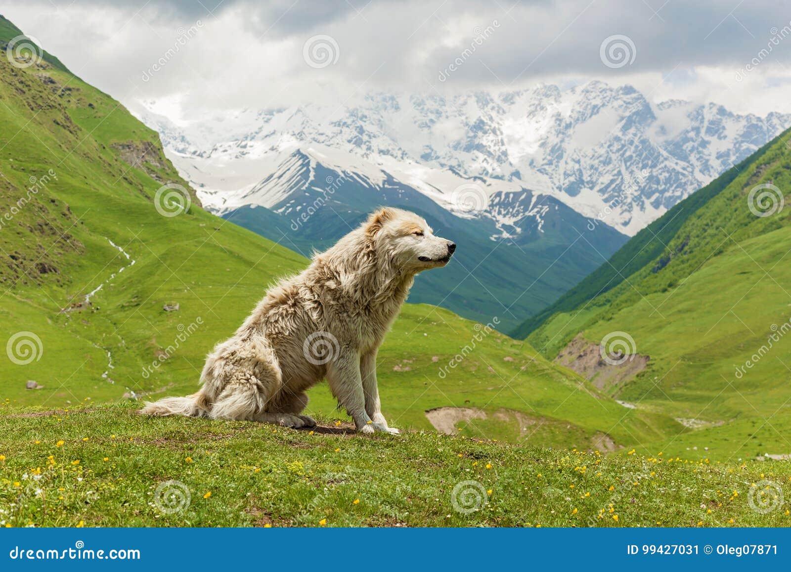 Chien de moutons caucasien pour la garde des bétail