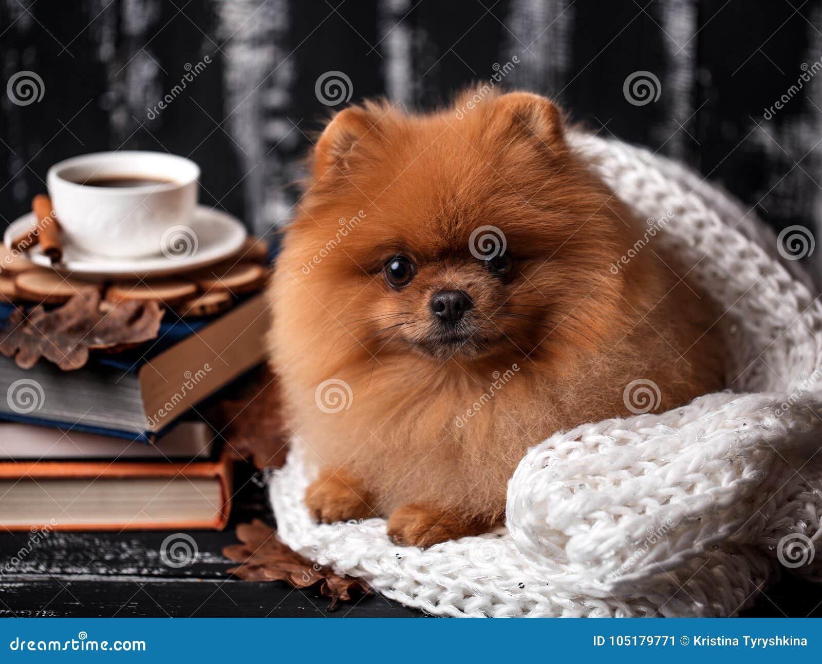 Chien De Pomeranian Enveloppe Dans Une Couverture Une Pile Des Livres Et D Une Tasse De Cafe Beau Chien Avec Des Livres Image Stock Image Du Dans Beau 105179771