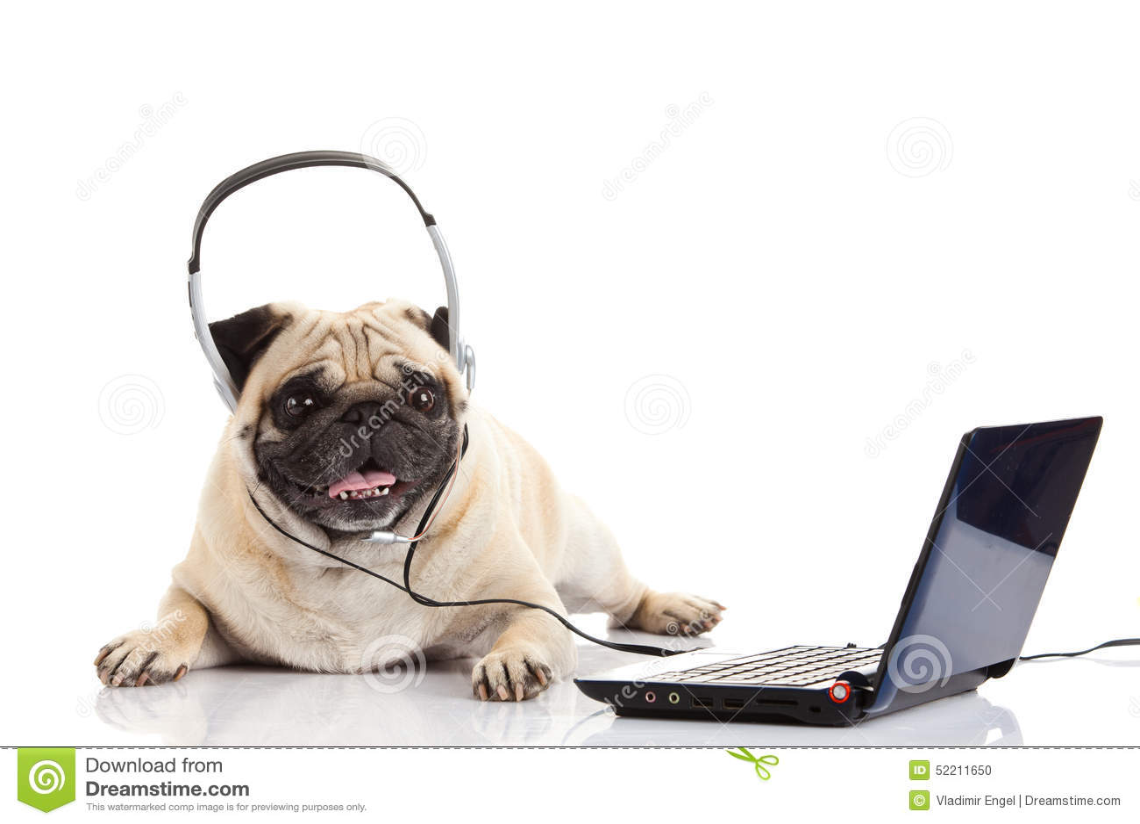 Chien De Roquet Avec L'écouteur D'isolement Sur L'ordinateur